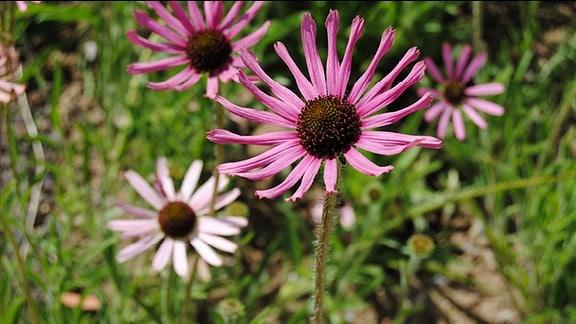 Rosa blühende Sonnenhut-Pflanzen mit leicht eingerollten Blütenblättern