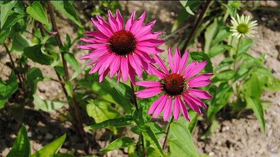 Rosa-rot blühende Sonnenhut-Pflanzen