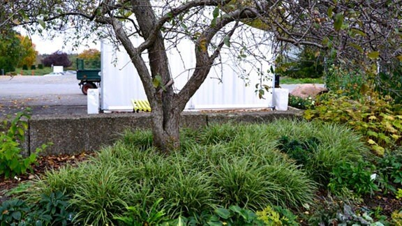 Viele Ableger des niedrig wachsenden Carex-Grases