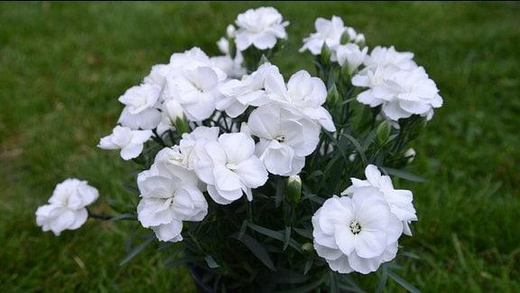 Weiße Nelken