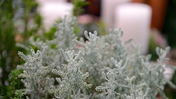 Pflanze mit kleinen hellgrünen Ästen, die von einem weißen Flaum überzogen sind.
