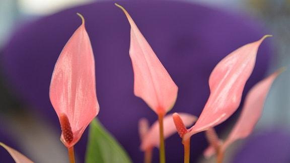 schmale, rosarote, fast lachsfabene Hochblätter einer Anthurie