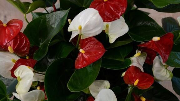 zwei Anthurienpflanzen mit roten und weißen Hochblättern wachsen in einem Topf