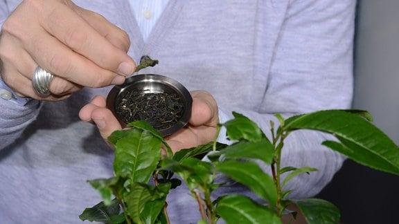 Eine Hand zeigt ein getrocknetes Teeblatt. Im Vordergrund steht eine Teepflanze.