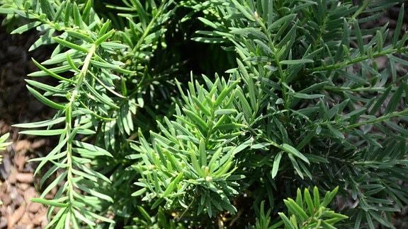 Pflanze, Bodendecker mit dunkelgrünen langen Blättern