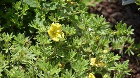 hellgrüne Pflanze mit gelben Blüten