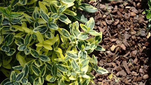 Pflanze mit gelb-grünen Blättern