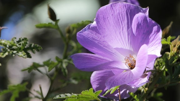 Lila Hibiskusblüte