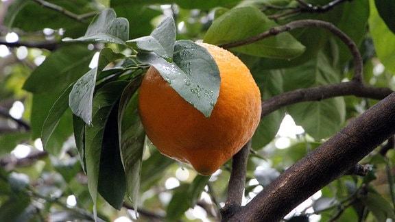 An eine orangefarbene Zitrone erinnernde Frucht einer Pflanzenzüchtung, die aus Orange und Pampelmuse entstanden ist.
