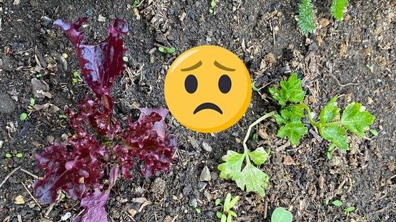 Ein Salat und ein Sellerie wachsen auf einem Beet. Trauriges Emoji für schlechte Partnerschaft.
