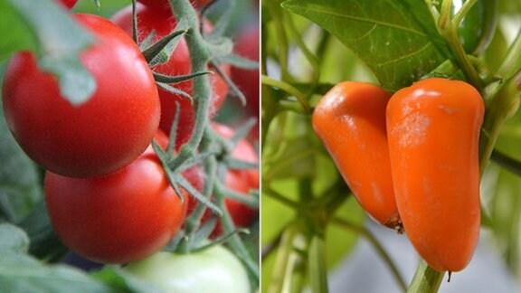 Collage: Tomatenpflanze mit roten Tomaten und Paprikapflanze mit orangenen Paprikas