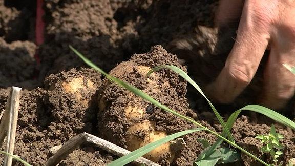 Kartoffeln werden geerntet