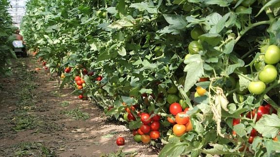 Rote und grüne Tomaten an Tomatenpflanzen.