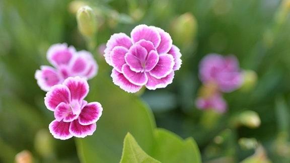 Kleine Blüte einer rosa Nelke