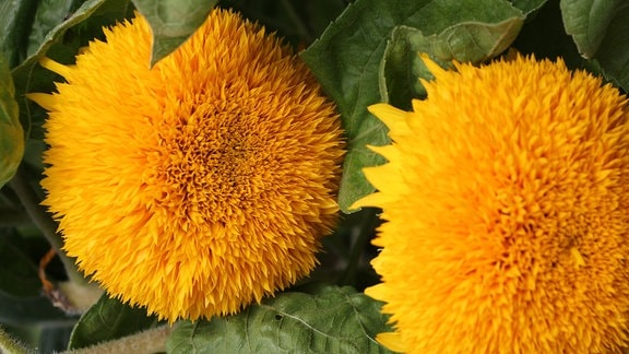 Zwei gelbe Blüten der Sonnenblume 'Teddybär'.