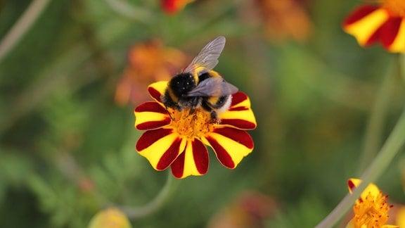 Blüte der Tagetes 'Jolly Jester' mit Hummel.