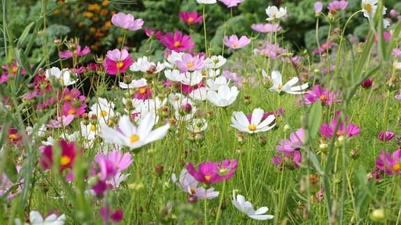 Blumenwiese mit Blüten in Weiß- und Rosatönen in der Kleingartenkolonie Landskrona in Schweden.