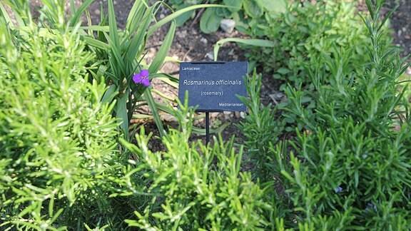 Zwischen Rosmarin steht ein Schild mit dem botanischen Namen 'Rosmarinus officinalis'.
