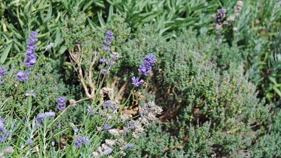 Eine Biene sitzt an einer Lavendel-Blüte in einem Kräuterbeet mit Salbei und Thymian