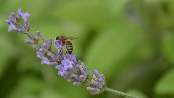 Lavendelblüte mit Biene.