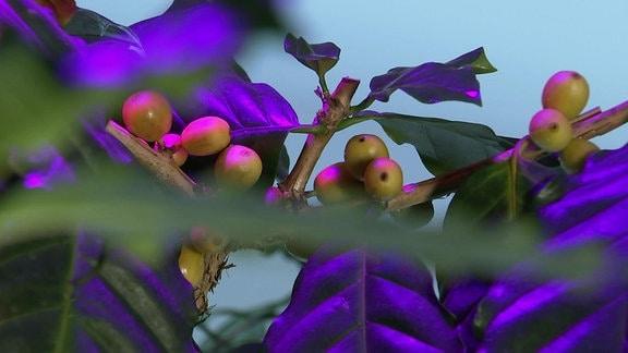 Früchte des Kaffeestrauchs in einer Ausstellung