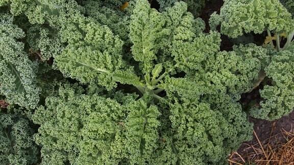 Salat im Beet.