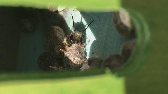 Eine Mauerbiene schlüpft aus ihrem Nest