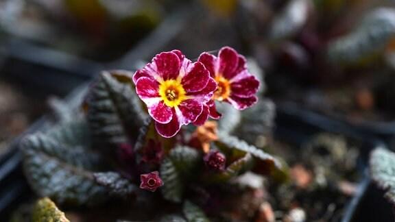 pinke Primel mit gelben Streifen auf den Blütenblättern