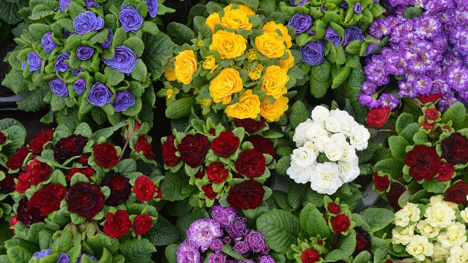 schwarze Rose winterfeste Blumen Sträucher für den Garten mehrjährig frosthart