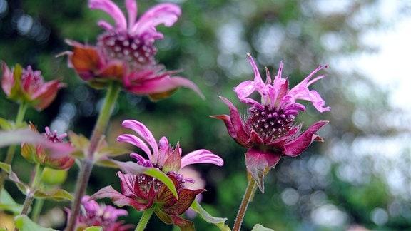 Rot-violette Blüten einer Indianernessel der Sorte 'Saxon Purple'