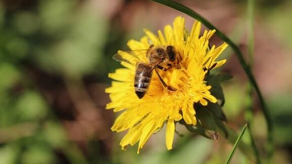 Eine Biene auf einer Löwenzahnblüte.