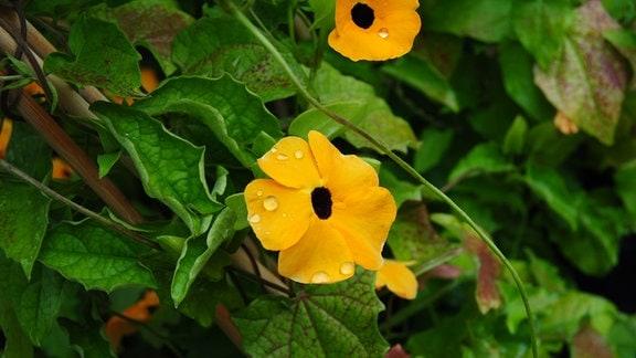 Gelbe Blüten der Kletterpflanze Schwarzäugige Susanne