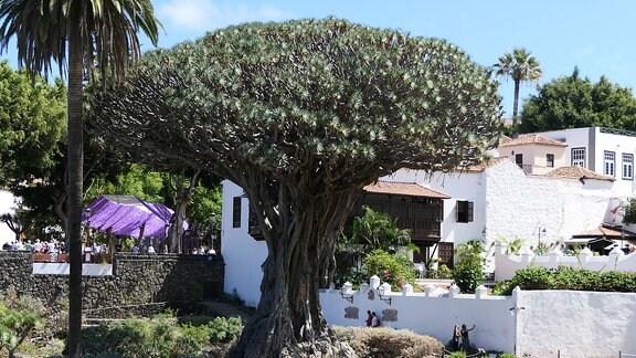 Drachenbaum