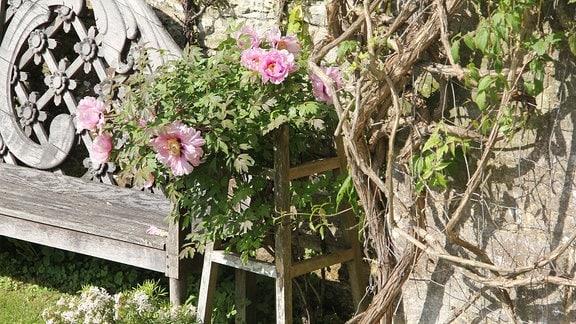 Rosa blühende Pfingstrosen an Mauer.