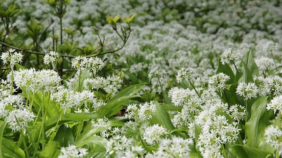 Zahlreiche dicht wachsende, grüne Pflanzen mit sternförmigen, weißen Blüten in einem Park