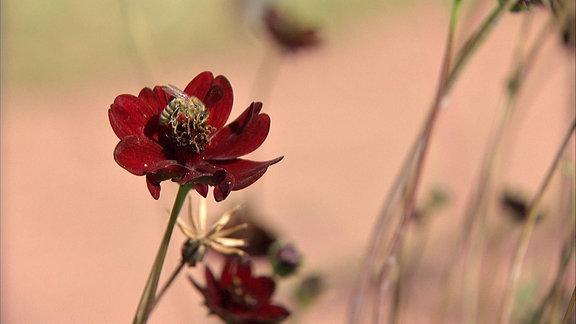 Rot blühende Schokoladen-Kosmee mit Biene