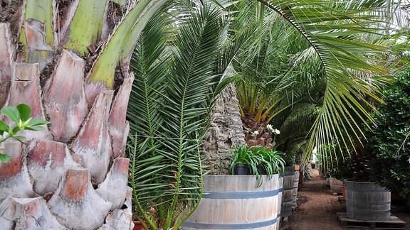 Palmen bilden einen schmalen Durchgang.