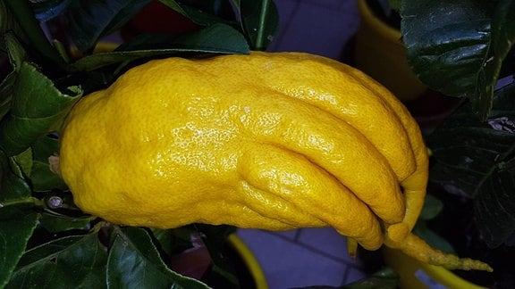Zitronatzitrone