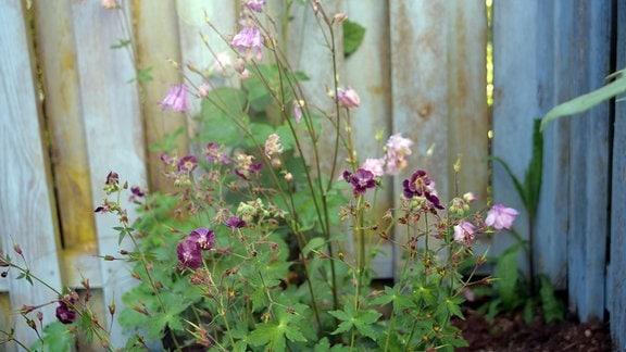 Geranium Phaeum 'Springtime' wächst in einer Gartenecke mit rosafarbener Akelei kombiniert vor einem Gartenzaun.