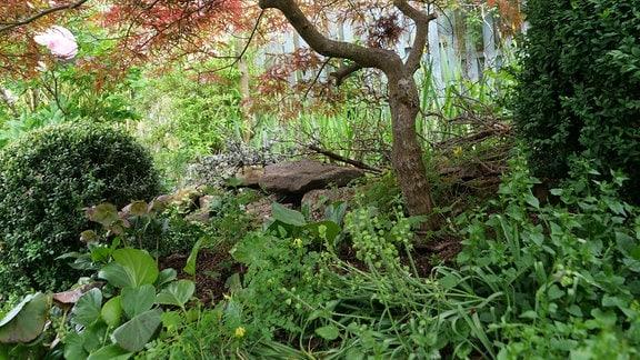 Das Geranium Silverwood auf einem Beet unter einem Fächerahorn.