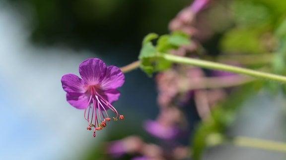 Violette Blüte des Felsenstorchschnabels