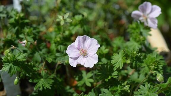 Zart rosa Blüte des Garanium Blutstorchschnabel