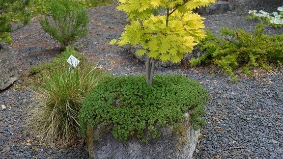 Ein kleiner Baum im Kübel ist mit Geranium dalmaticum unterpflanzt