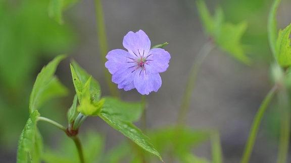 Blaue Blüte des Storchschnabels