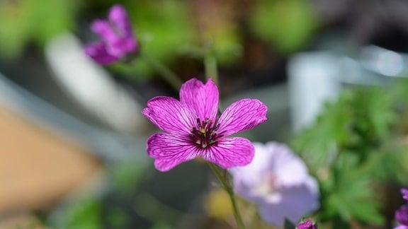 Pinke Blüte des Geraniums Subcaulesens