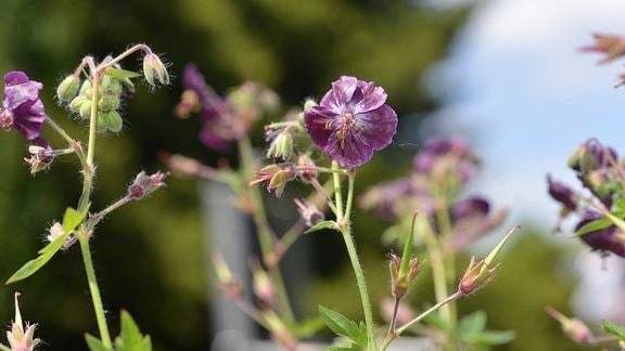 Dunkle, lila Blüten des Wald Geraniums