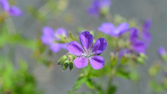 Blaue Blüten des Waldstorchschnabels