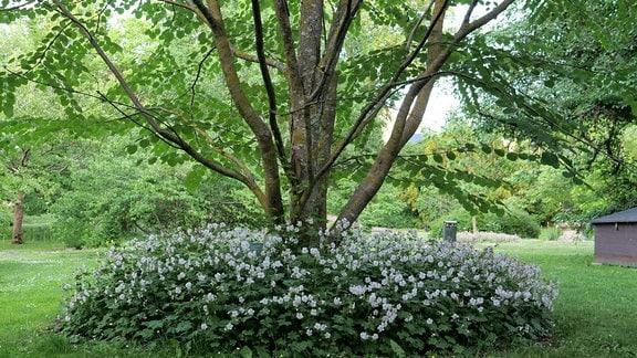 Um einen Baum wächst weiß blühendes Geranieum