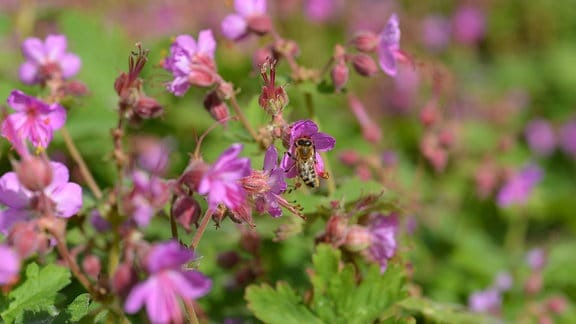 Rosa Storchschnabelblüten mit Biene
