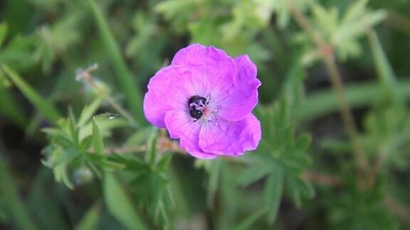 Rosa Blüte des Blutstorchschnabels mit schlafende Biene